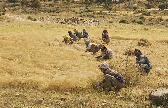 teff-harvesting-ethiopia