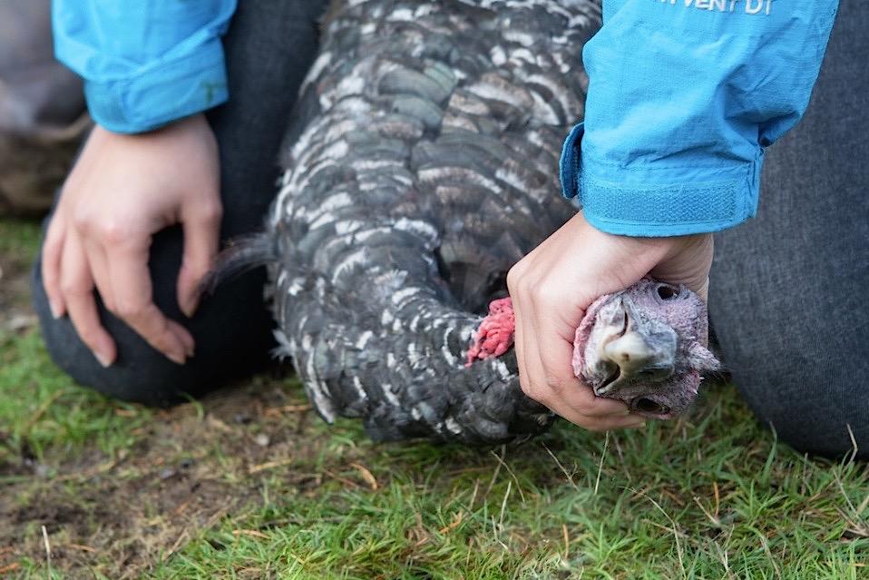 humane turkey